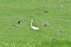 Reigersstrijd voor hun grondgebied in een weide met moerassen stock fotografie