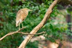 Reigervogel die op droge boom rusten Stock Foto