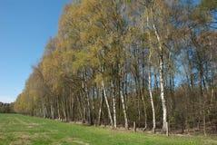 Reihe der Birken im Frühjahr lizenzfreie stockfotografie