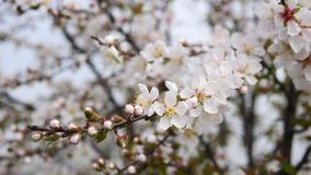 Reihe der Blumen im Frühjahr: Blüten von japanischen Buschkirschblumen in den kleinen Gruppen in der Brise, schließen herauf Ansi stock footage