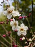 Reihe der Blumen im Frühjahr: weiße Pflaume (Bai-mei auf Chinesisch) bloss stockbild