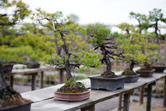 Reihe der Bonsaisbäume stockfoto
