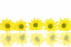 Reihe der Gänseblümchen mit Reflexionen auf Weiß Lizenzfreie Stockbilder