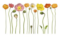 Reihe der Mohnblumen Stockfoto