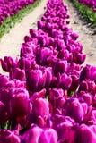 Reihe der purpurroten Tulpen Stockbilder