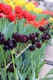 Reihe der roten, gelben und violetten Tulpenblume Lizenzfreies Stockfoto