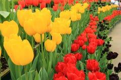 Reihe der roten und gelben Tulpenblume Lizenzfreie Stockfotos