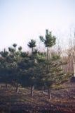 Reihe der Tannenbäume Lizenzfreie Stockbilder