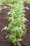 Reihe der Tomate lizenzfreie stockfotografie