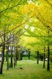 Reihe des gelben Ginkgobaums in Kawagujika, Japan lizenzfreies stockbild