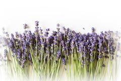 Reihe des Lavendels blüht auf weißem Hintergrund mit Kopienraum Stockfotos