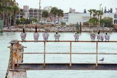 Reihe des Pelikans auf rostigem Geländer Stockfotos