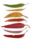 Reihe Eukalyptusblätter Lizenzfreie Stockbilder