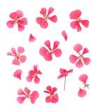 Reihe trocknete gepresste Blumenblätter von Blumen der empfindlichen rosa Pelargonie stockfotografie