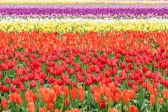 Reihe von bunten Tulpen auf dem Feld im Früjahr Stockfotografie