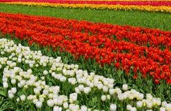 Reihe von den bunten Tulpen gefunden in einer ländlichen Einstellung stockbild