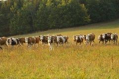 Reihe von den Kühen, die auf einem Gebiet weiden lassen Lizenzfreie Stockfotos