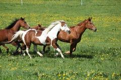 Reihe von den schönen Pferden, die auf Weide laufen Lizenzfreies Stockbild