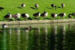 Reihe von Enten an der Teich-Seite Stockbilder