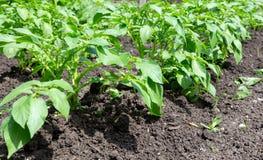 Reihe von jungen Kartoffelpflanzen Lizenzfreies Stockbild