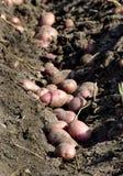 Reihe von Kartoffeln Stockfotos