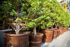 Reihe von kleinen eingemachten Bäumen auf einer Straßenpflasterung draußen Stockfotografie