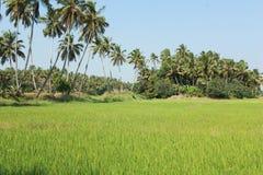 Reihe von Kokosnussbäumen nähern sich Reisreisfeldern Stockfotos