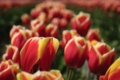 Reihe von lebenden Tulpen in der Sonne Lizenzfreies Stockfoto