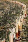 Reihe von Mais pirscht an sich, nachdem die Anlage geerntet worden ist stockbild