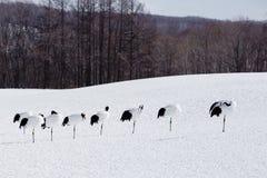 Reihe von Mandschurenkranichen auf einem Bein im Schnee Stockbild