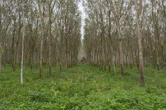 Reihe von Para-Kautschuk-Bäumen Stockfotografie