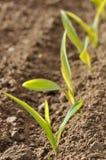Reihe von Sämlingen von Mais Stockbilder