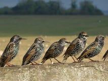 Reihe von Staren auf einem Zaun Stockfoto