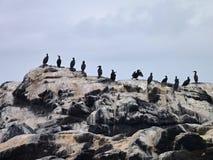 Reihe von Vögeln auf einem schmutzigen Felsen auf einer Küste Lizenzfreie Stockfotografie