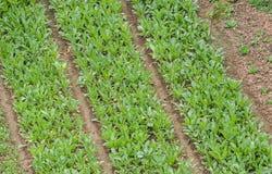 Reihen auf dem Feld Stockbild
