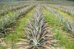 Reihen der Ananasfrucht (Ananas comosus) stockfoto