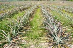 Reihen der Ananasfrucht (Ananas comosus) stockfotografie