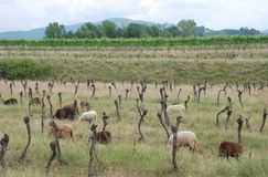 Reihen der aufgegebenen Trauben-Reben mit Schafen Stockfotografie