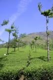 Reihen der Bäume an der Teeplantage, Lizenzfreie Stockbilder