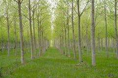 Reihen der Bäume Stockbild