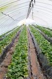 Reihen der Erdbeere Lizenzfreie Stockfotos