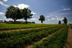 Reihen der Erdbeeren mit blauem Himmel Stockfotos
