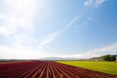 Reihen der Getreide unter blauem Himmel Lizenzfreies Stockbild