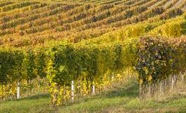 Reihen der goldenen Traube im Weinberg Stockbild