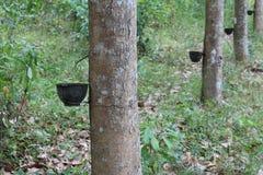 Reihen der Gummibäume, Ostthailand lizenzfreies stockbild