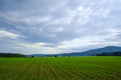 Reihen der jungen Maispflanzen Lizenzfreies Stockfoto