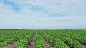 Reihen der Kartoffeln Stockbild