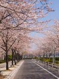 Reihen der Kirschblütenbäume Lizenzfreies Stockfoto