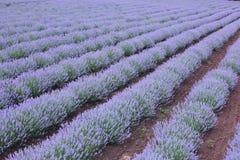 Reihen der Lavendelanlage. Stockfotos