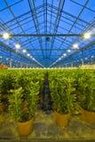 Reihen der Lilien in einem Glashaus Lizenzfreies Stockfoto